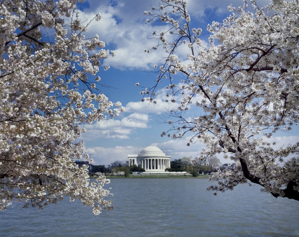 Every spring, nearly 3,000 cherry trees blossom in Washington D.C., perfectly framing landmarks around the National Mall.